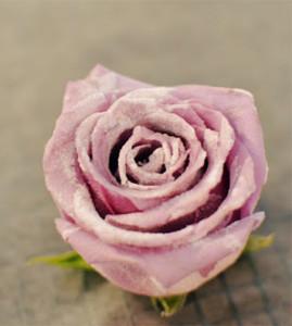 засахаренная роза 452 х 504
