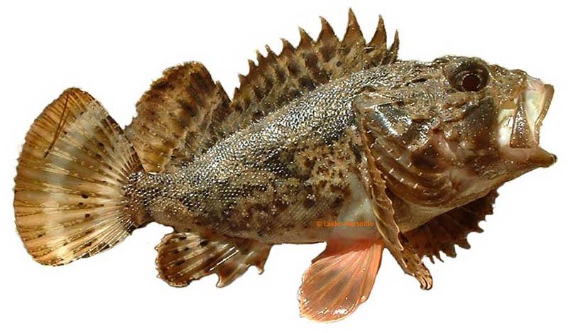 рыба раскасс 800 х 469