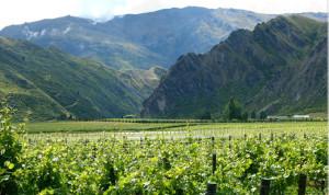 виноградные плантации Сэма Нила 600 х 356